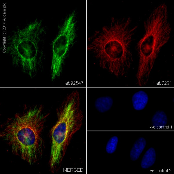 Immunocytochemistry/ Immunofluorescence - Anti-Vimentin antibody [EPR3776] - Cytoskeleton Marker (ab92547)