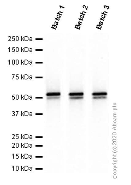 Western blot - Anti-Vimentin antibody [EPR3776] - Cytoskeleton Marker (ab92547)