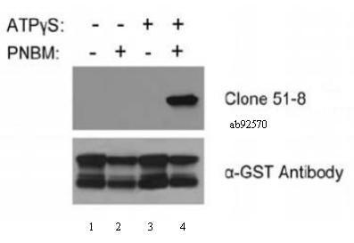 Western blot - Anti-Thiophosphate ester antibody [51-8] (ab92570)