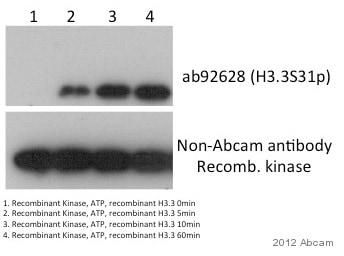 Western blot - Anti-Histone H3.3 (phospho S31) antibody [EPR1873] (ab92628)
