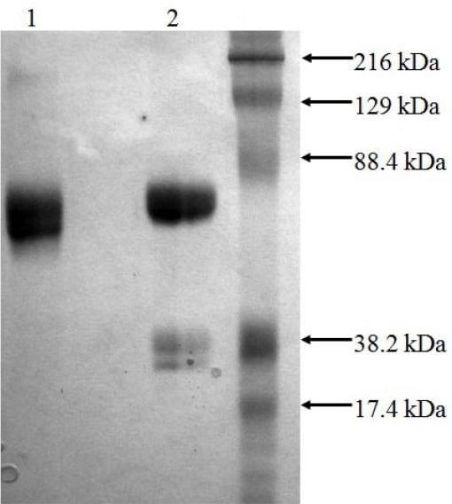 SDS-PAGE - Recombinant human Tissue Plasminogen Activator protein (Active) (ab92633)