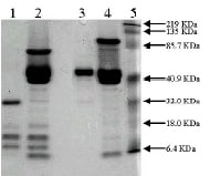 SDS-PAGE - Recombinant mouse Urokinase protein (ab92641)