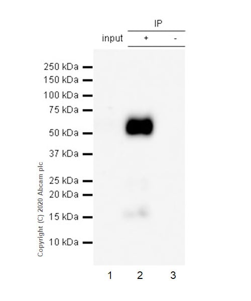 Immunoprecipitation - Anti-Tau (phospho S404) antibody [EPR2605] (ab92676)