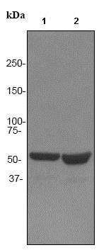 Western blot - Anti-Tryptophanyl tRNA synthetase/WRS antibody [EPR3424] (ab92733)