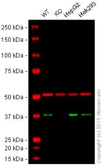 Western blot - Anti-APE1 antibody [EPR4022] (ab92744)