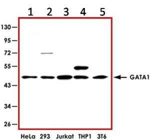 Western blot - Anti-GATA1 antibody (ab92891)