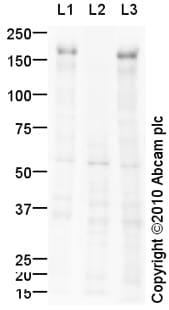 Western blot - Anti-EGFR (phospho Y1068) antibody (ab92960)