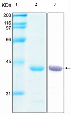 SDS-PAGE - Recombinant Human Annexin A1/ANXA1 protein (ab92966)