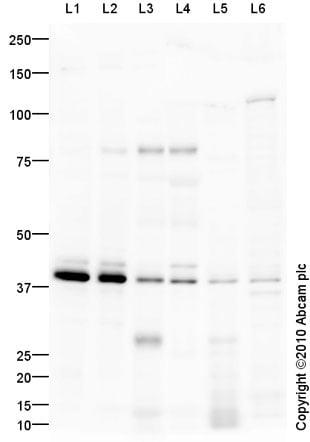 Western blot - Anti-EDG8 antibody (ab92994)