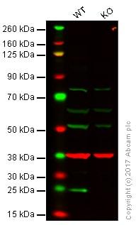 Western blot - Anti-Bak antibody (ab92999)