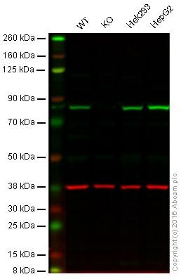 Western blot - Anti-HADHA antibody (ab93207)