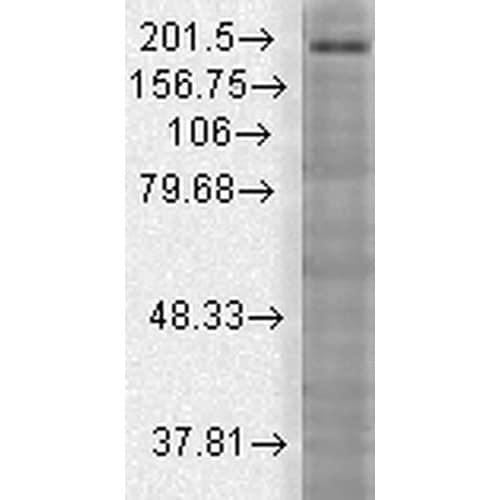 Western blot - Anti-SHANK3 antibody [N69/46] (ab93607)