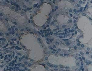 Immunohistochemistry (Formalin/PFA-fixed paraffin-embedded sections) - Anti-BMP7 antibody (ab93636)