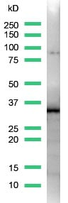 Western blot - Anti-SOX2 antibody [SP76] (ab93689)