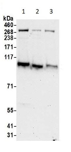 Western blot - Anti-KAT13D / CLOCK antibody (ab93804)