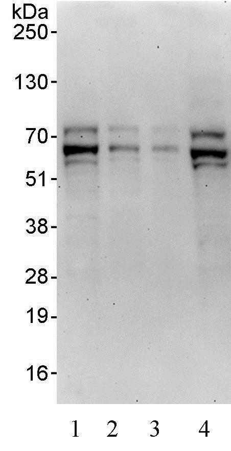 Western blot - Anti-TFE3 antibody (ab93808)