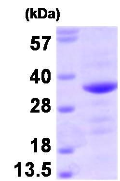 SDS-PAGE - Recombinant Human Bag1 protein (ab93929)