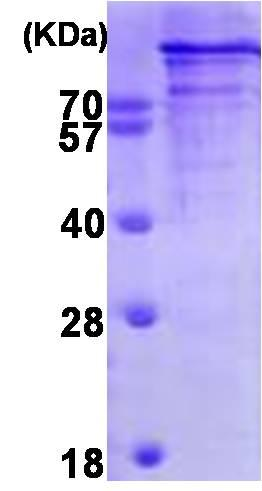 SDS-PAGE - Recombinant Human Chromogranin B protein (ab93930)