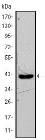 Western blot - Anti-FABP4 antibody [9B8D] (ab93945)