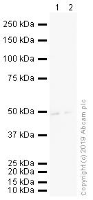 Western blot - Anti-beta 3 Adrenergic Receptor antibody (ab94506)