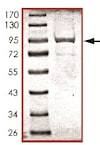 SDS-PAGE - Recombinant human CD45 protein (ab94517)