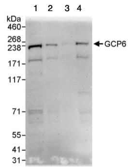 Western blot - Anti-GCP6 antibody (ab95172)