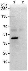 Immunoprecipitation - Anti-IMPACT antibody (ab95175)