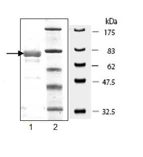 SDS-PAGE - Recombinant human VEGF Receptor 3 protein (ab95247)