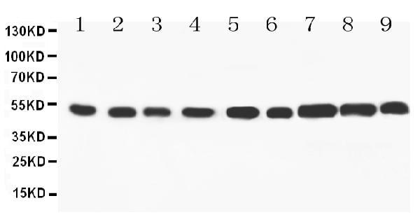 Western blot - Anti-SMAD 1/2/3/5 antibody (ab95455)