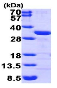 SDS-PAGE - Recombinant Human CLIC1 protein (ab95486)