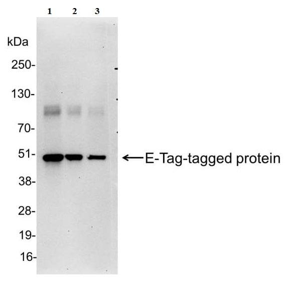 Western blot - Anti-E tag antibody (ab95868)