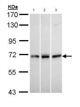 Western blot - Anti-MX1 antibody (ab95926)