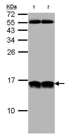 Western blot - Anti-NHP2L1 antibody (ab95958)