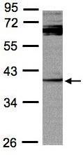 Western blot - Anti-DUSP7 antibody (ab95960)