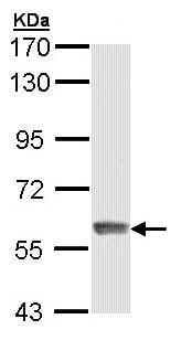Western blot - Anti-IFIT3/P60 antibody (ab95989)