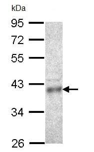 Western blot - Anti-CPOX antibody (ab96061)