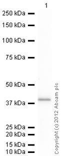 Western blot - Anti-AKR1C1/AKR1C2 antibody (ab96087)