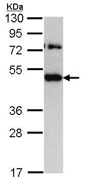 Western blot - Anti-TRAM1/TRAM antibody (ab96106)
