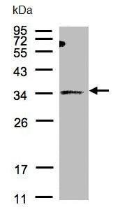Western blot - Anti-ST3Gal I antibody (ab96129)