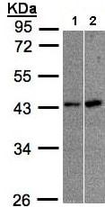 Western blot - Anti-MBNL3 antibody (ab96179)