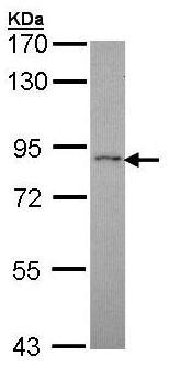 Western blot - Anti-RASGRP 4 antibody (ab96293)