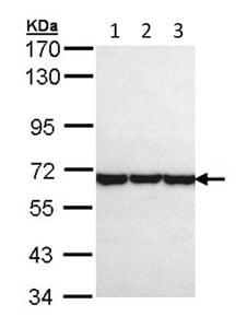 Western blot - Anti-TCP1 theta antibody (ab96321)