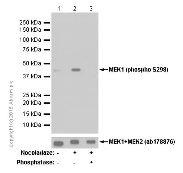 Western blot - Anti-MEK1 (phospho S298) antibody [EPR3338] (ab96379)