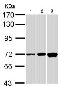 Western blot - Anti-CNGA2 antibody (ab96410)