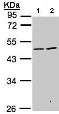Western blot - Anti-SIGLEC9 antibody (ab96545)