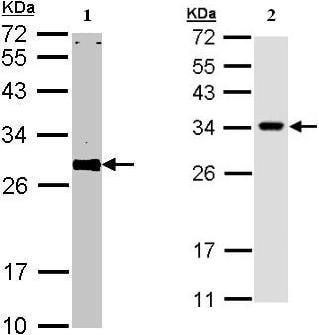 Western blot - Anti-VAPA antibody (ab96584)