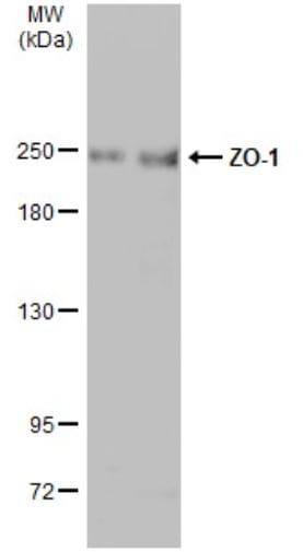 Western blot - Anti-ZO1 tight junction protein antibody (ab96587)