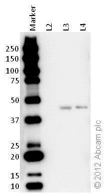 Western blot - Anti-Citrate synthetase antibody (ab96600)