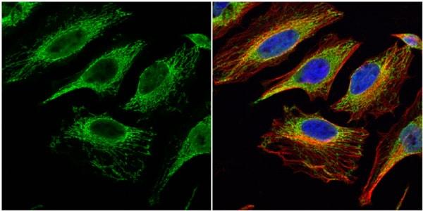 Immunocytochemistry/ Immunofluorescence - Anti-Citrate synthetase antibody (ab96600)