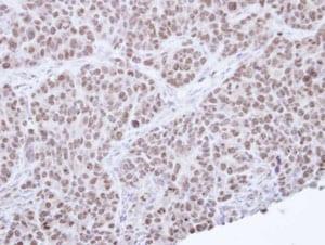 Immunohistochemistry (Formalin/PFA-fixed paraffin-embedded sections) - Anti-NR0B2 antibody (ab96605)